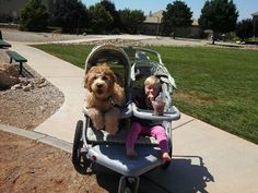 Charlie wanted to ride in the stroller on the way home. Haha! #goldendoodlehttp://coppercanyondoodles.wix.com/coppercanyondoodles
