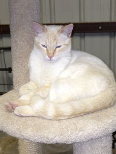 Flamepoint Siamese - looks like my Finnigan...