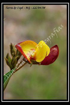 Brazilian savanna's flower!