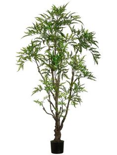 6' Outdoor Ming Aralia Tree w/842 Lvs. in Plastic Pot Green >>> Check out the image by visiting the link.