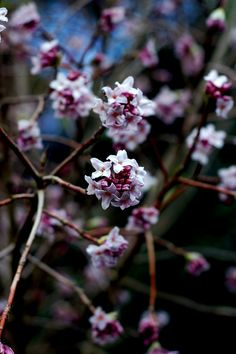 Daphne Bholua - 9 Gorgeous Flowers that Bloom in January #gardening