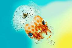 Seit 20 Jahren kürt der britische Wellcome Trust die schönsten Wissenschaftsbilder des Jahres. Der hier fotografierte junge Zwergtintenfisch lebt an der Küste Hawaiis. Tagsüber vergräbt sich das wenige Zentimeter große Tier im Sand. Bakterien, die in Symbiose im Innern leben, sorgen dafür, dass der Tintenfisch nachts leuchtet.