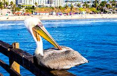 Home Again By The Ocean II by Aileen Everlast  This photo was shot in Oceanside, California on the Oceanside Pier, this pelican was quite the ham, allowing multiple people to take photographs of it! Very interesting day indeed.