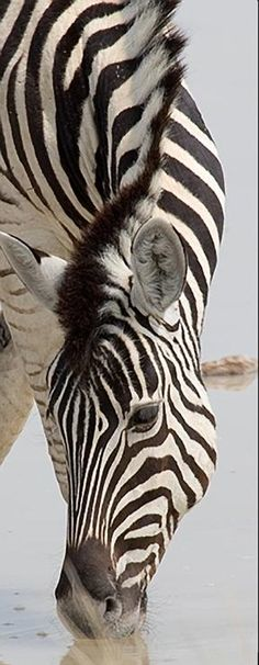 Zebra, oh Wow! Long curved graceful neck looking down is just stunning! Horse of another color! Beautiful animal! Please also visit www.JustForYouPropheticArt.com for colorful art you might like to pin. Thanks for looking!