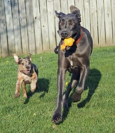 Gibbs, the Catahoula Leopard Dog Mix and his Great Dane pal.