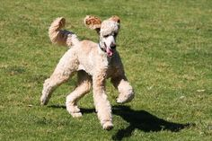 apricot standard poodle running