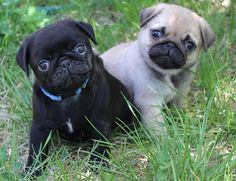Cute Fawn & Black Pug Puppies