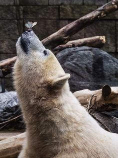 Polar Bear with butterfly on nose - Games of Thrones - Animals Animals And Pets, Baby Animals, Funny Animals, Cute Animals, Baby Giraffes, Wild Animals, Bear Photos, Bear Pics, Love Bear