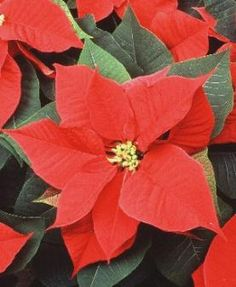 Un popular flor en México durante Navidad es a poinsettia.