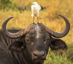A Egret leaves a present for the Water Buffalo: Tom Stables