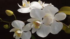 La orquídea phalaenopsis: cultivo y cuidados  #jardineria #orquideas