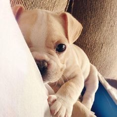 Twitter / AnimaILife: Frenchie wants some pets ...