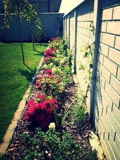 Hyndrangeas in my garden
