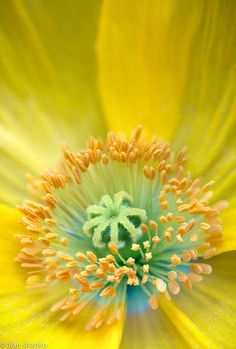 Poppy feeling splendid by Alan Shapiro on Flora Flowers, All Flowers, Yellow Flowers, Scenery Photography, Macro Photography, Beautiful Flowers Images, Flower Close Up, Macro Flower, Turquoise