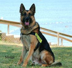 Beautiful German Shepherd Police Dog k9instinct.com