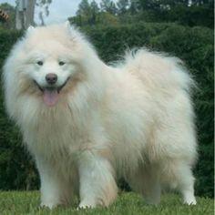 O Samoieda  é uma raça  de cão  muito  primitiva, que muito pouco evoluiu nos últimos 5 mil anos (período em  que surgiram a maioria das ra...