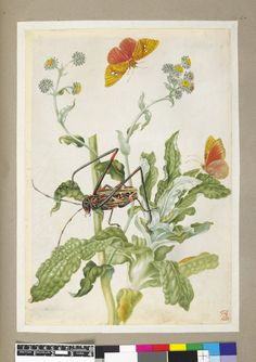 Silver flower, and with examples of a red and black beetle, and yellow and orange butterfly, from an album entitled 'Merian's Drawings of Surinam Insects &c' Watercolour, touched with bodycolour, heightened with white (oxidised), on vellum. Drawn by: Maria Sibylla Merian. School/styleGerman. Date1701-1705 (circa).