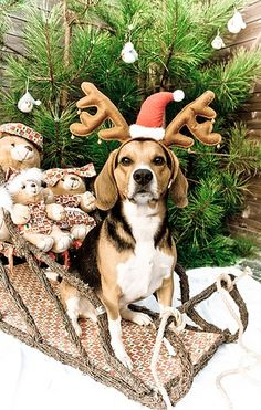 Surprised this beagle sat still that long! Considering mine never even let's me put antlers on her!!! via @KaufmannsPuppy