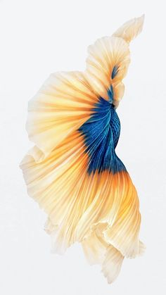 Imagen de http://i0.wp.com/iphoneandord.com/wp-content/uploads/2015/09/beta-amarillo-y-azul-iPhone-6.jpg