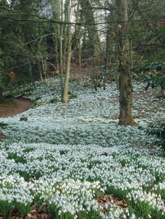 Snowdrops - Painswick Rococo Garden, Cotswolds, UK