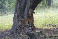 Maya's -T12- Cub Judging his mom's territory markings....  Image Credit: Mr. Parag Deshpande #tadobatigerkingresort TATR