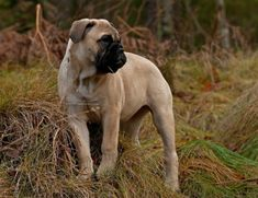 In the face of European legislation against snub-nosed breeds, a prominent judge and fancier reminds that the Bullmastiff is not brachycephalic. Modern Molosser | www.modernmolosser.com