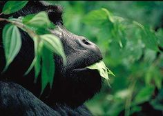 In the jungles of Bwindi Impenetrable Forest live half the world's population of highly endangered Mountain Gorillas