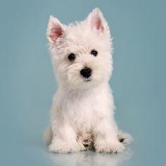 Westie Puppy those pink little ears make me melt!