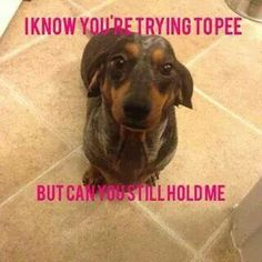 yes, how can I be of service? I can so relate to this.My Dachshund ALWAYS wanting to be held when I have to pee lol Dachshund Funny, Dachshund Puppies, Dachshund Love, Funny Dogs, Cute Puppies, Cute Dogs, Funny Animals, Cute Animals, Daschund