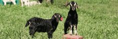 Excellent page of instructional videos for goat behavior, kid management, marketing, hoof care, predator control etc with links to other great sources also