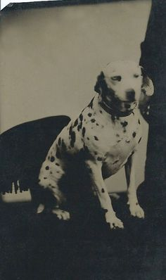 c.1870s 1/6-plate tintype of a Dalmatian seated on a fringed chair. From bendale collection