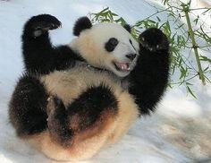 artofmi3: The cuteness of pandas