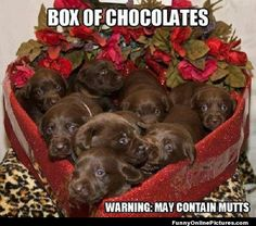 Check out this cute picture of the perfect chocolates for Valentine's day... chocolate labs that is!