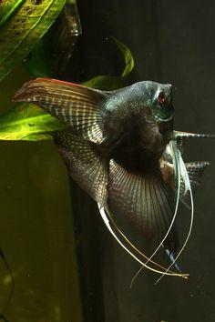 Einige meiner Engel - Seite 4 - Praktische Fishkeeping Forum