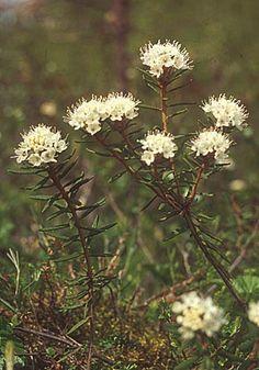 METSÄTALOUDEN VERKKOKOULU - Metsätyyppien opaskasvit / suopursu-----Suopursu (Ledum palustre)