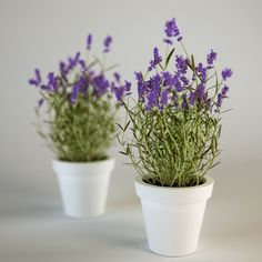 Lavender, How to Grow Lavender, Growing Lavender, how to Grow ...
