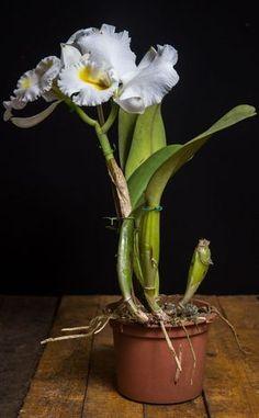 Orquídea híbrida LC Guiomar Albanesi