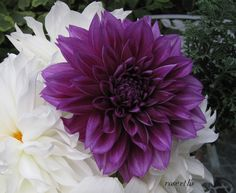 Purple Dahlia for my wedding bouquet! Zinnia Bouquet, Flower Boquet, Purple Dahlia, White Dahlias, Purple Flowers, Dahlia Flowers, Pink, Purple Wedding Bouquets, Floral Wedding