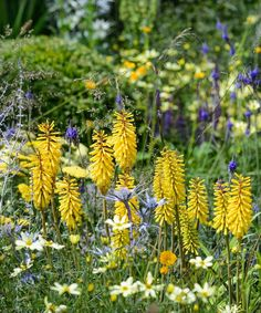 Kniphofia 'Sunningdale' radiating summer cheer here with Coreopsis verticillata 'Moonbeam' and Perovskia 'Little Spire'. Snapped on…