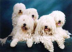 koomoodor dog   Komondor Dog Breeder Southern Ontario Komondore Puppies for sale ...