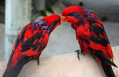The blue-streaked lory. For more Hit Follow: +Amazing World