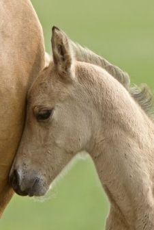 """""""Perhaps no animal is more 'downed' than a female giving birth. Witnessed at a horse-kill plant in Dallas, Texas, which kills 1,500 horses a day for mostly French and Belgian consumers: Two workers use a 6-foot whip on the horse as she gives birth, to get her to speed up and go onto the kill floor. The foal is thrown into a spare parts bucket. The boss in his cowboy hat observes from the overhead walkway."""" - slaughterhouse observer real men r kind to animals the rest r simply insane to watch…"""