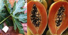 Fantástico! Quer equilibrar o seu organismo? Então ingira folhas de mamão! - # #beneficios #chá #Folhas #mamão #suco