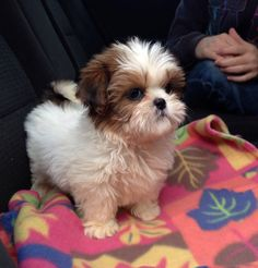 Shih Tzu | A Definitive Ranking Of The Cutest Puppies