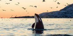 Killer Whale watching marine birds near San Juan Islands in Washington state.