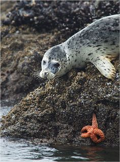 Shiny heads with big eyes peeking from the waves are a common sight along the coast of Maine the spring and summer. Curious and playful harbor seals frolic in the surf and relax in the sun on the rocky shoreline with their pups. Many a sailor has been greeted by this image of bright eyes and thick whiskers, making it the perfect subject for a tote made from a recycled sail. Pair it with our Seal Wristlet to make a slick set. Seal image on front only.