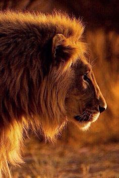 """beautiful-wildlife: """" Golden Lion by Christopher Spiteri """" Lion Pictures, Animal Pictures, Beautiful Cats, Animals Beautiful, Animals And Pets, Cute Animals, Strange Animals, Wild Animals, Gato Grande"""