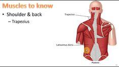 Anatomy Ch 9 - Muscular System
