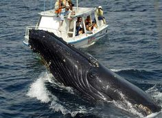 Bay of Samana Whale Watching Tour from Puerto Plata in Dominican Republic Central America Samana, Whale Watching Season, Whale Watching Tours, Punta Cana Excursions, Humpback Whale, Blue Lagoon, Dominican Republic, Vacation Spots, Greece Vacation