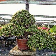 How to bonsai a jade. Bonsai Soil, Bonsai Seeds, Tree Seeds, Bonsai Garden, Bonsai Pruning, Bonsai Plants, Succulents Garden, Jade Plants, Fruit Plants